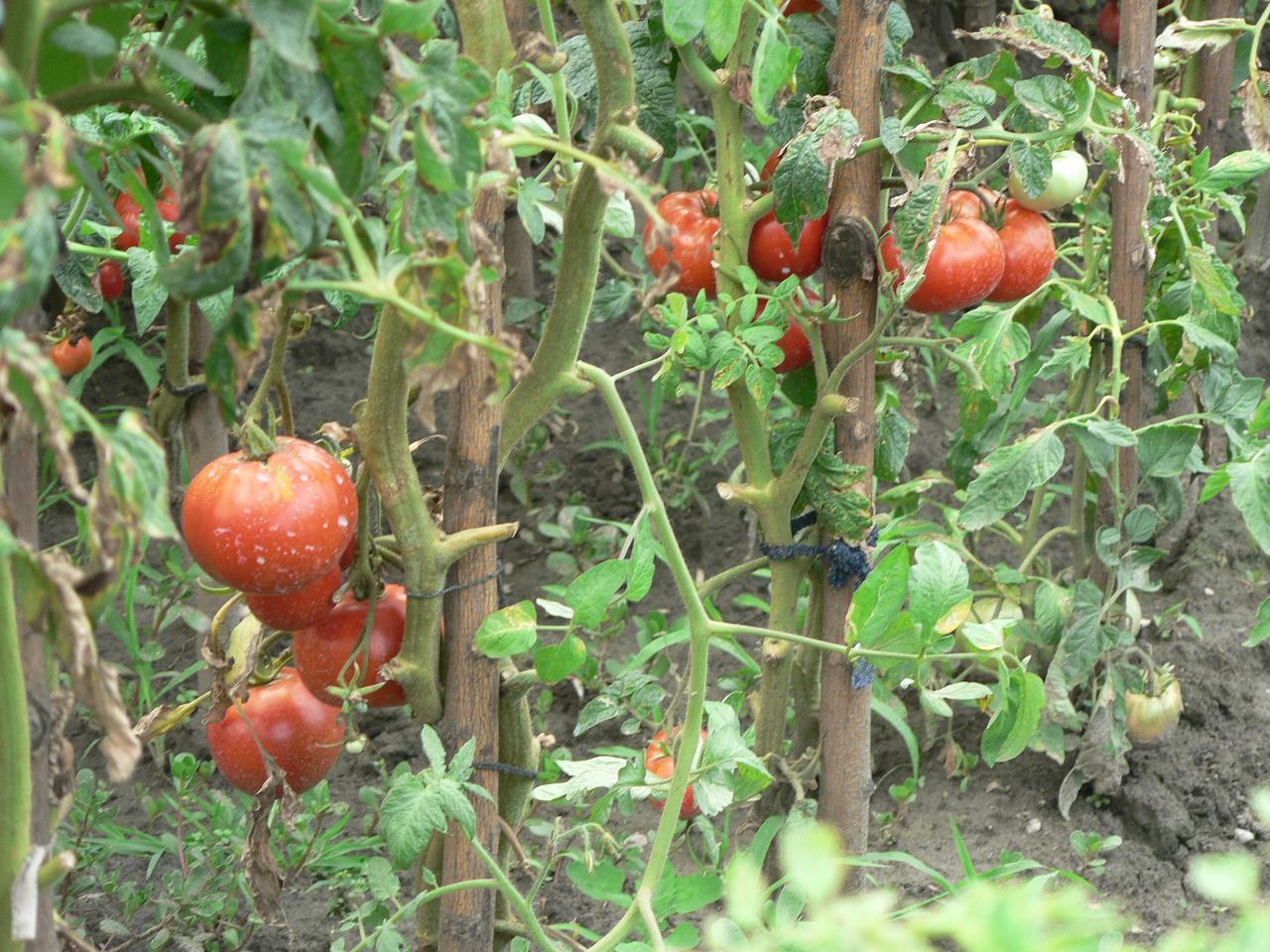 Что сделать чтобы зелёные помидоры покраснели? 62